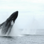 More than 20,000 North Pacific humpback whales spend the summer months in B.C. waters, according to Fisheries and Oceans Canada