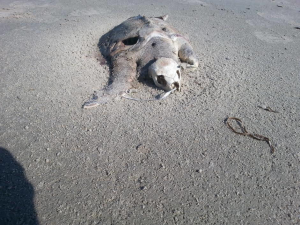Turtle died of plastic ingestion