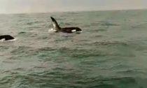 Killer Whales off the coast of Dublin