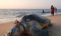 This turtle died after becoming entangled in fishing nets