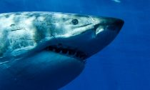 Great White Shark in Guadalope