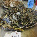 Endangered hawksbill turtle trade much bigger than suspected