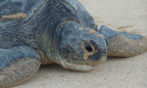 Loggerhead turtle in he Ascension Islands