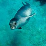 Mediterranean monk seals are exposed to a barrage of threats