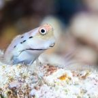 Tiny, Snackable Fish Are Linchpins of Reef Ecosystems