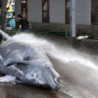 Japan set to resume commercial whaling after 30 years