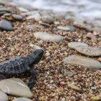 Turtles swim to uncertain future