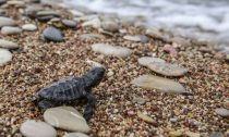baby loggerhead turtle making way to ocean