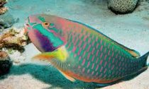 parrotfish swing in a coral reef