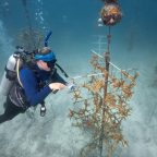 A diver cleans algae from staghorn coral at a Coral Reef Restoration Foundation nursery