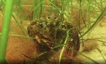 An American lobster shelters in an eelgrass meadow off Manchester-by-the-Sea, Massachusetts