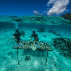 In Moorea, French Polynesia, the nonprofit group Coral Gardeners tends broken pieces of coral on a nursery table