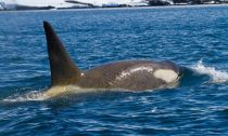 This killer whale in the Antarctic Islands shows the yellowish discoloration caused by a layer of diatoms.