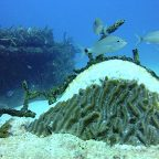 Stony Corals 'Preparing for a Mass Extinction'