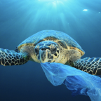 Ocean plastics smell like food to turtles