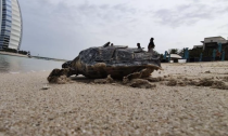 Hawksbill turtle is released back into the ocean