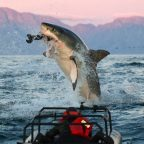 False Bay's great white sharks have vanished, is the answer in fish and chips