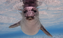 A young monk seal underwater in the Northwest Hawaiian Islands