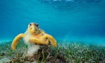 A loggerhead turtle grazes on sea grass. In stirring up the sea floor, the animals can pick up tens of thousands of tiny hitchhikers—small animals such as nematodes, crustaceans, and hydroids.