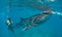 Tourists diving with whale shark at Oslob, Philippines. Credit: LAMAVE