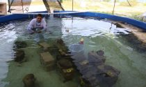 Scientists at the Regional Aquaculture and Fisheries Research Center in Puerto Morelos, Quintana Roo managed, for the first time in Mexico, to reproduce corals sexually in controlled environments and in an assisted manner, a historic achievement that gives hope for coral reef repopulation in the Mexican Caribbean.