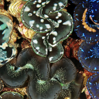 A pristine reef community with an extraordinary abundance of giant clams,Tridacna maxima, living on a patch reef in the lagoon of Kingman Reef.