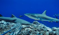 A grey reef shark and a sicklefin lemon shark in French Polynesia
