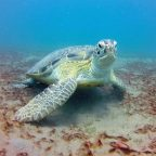Saving green turtles... by cooling their eggs