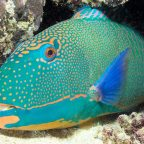 Maldives adds Parrotfish to list of protected species