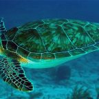 New study reveals migratory habits of teenage green turtles