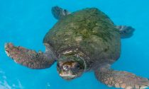 The loggerhead sea turtles were found in the same area as a number of dead sea lions earlier this month