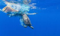 Discarded fishing nets, or 'ghost nets' can entangle animals like turtles.