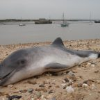 Ocean pollutants 'have negative effect on male porpoise fertility'