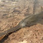Sawfish facing global extinction