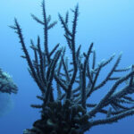 Half a trillion corals in Pacific Ocean