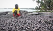 Abdoulaye Mansaray learnt about the business while processing sea cucumbers in Sierra Leone