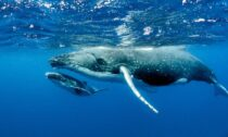 Humpback whales, shown here, are a species of baleen whales.