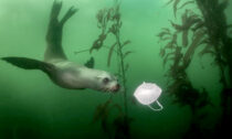 California sea lion encounters a discarded face mask in the waters off Monterey.