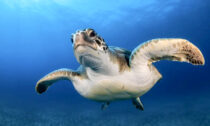 Green sea turtles are one of several marine animals that swim in mysterious circles