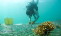 A researcher places coral on an artificial habitat in Yazhou Bay, Sanya, Hainan province, in March 2021