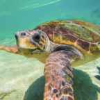 Pandemic gives breathing room to endangered sea turtles