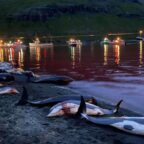 Stop the hunt of dolphins and small whales