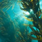 Why Kelp Could Help Save the Planet