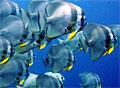 batfish_030707