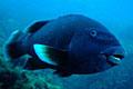 blue-grouper_310309