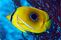 butterfly-fish_011009