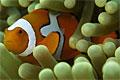 clownfish_070507