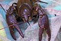 crayfish_291208