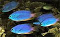 damsel-fish_080810