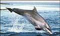 dolphin_morayfirth_131005